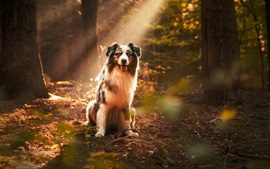 Dog under sunshine, forest, sun rays