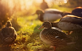 Preview wallpaper Ducks, nature, backlight