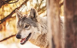 Preview wallpaper Forest animals, wolf, head, mouth, predator