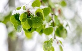 Frescas hojas verdes, nieve, gotas de agua