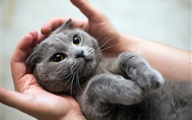 Preview wallpaper Furry gray kitten in hands