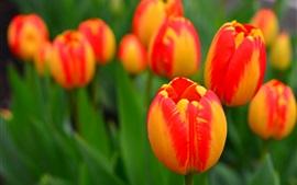 미리보기 배경 화면 정원 꽃, 오렌지 튤립