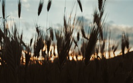 Preview wallpaper Grass at evening