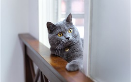 Preview wallpaper Gray cat look, fence