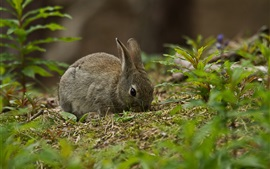 Preview wallpaper Gray rabbit, grass