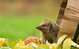Preview wallpaper Hedgehog, leaves, apple, barrel