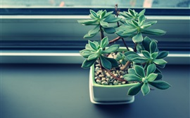 Preview wallpaper Houseplant, succulent plants, leaves