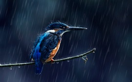 Martin-pêcheur sous la pluie