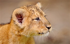 Lion cub face close-up