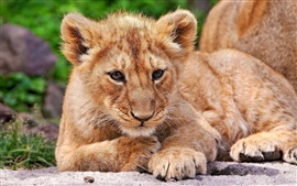 Preview wallpaper Lion cub rest, look