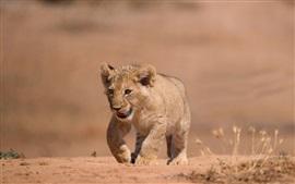 Preview wallpaper Lion cub walk