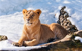 Preview wallpaper Lioness rest, snow, winter