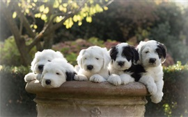 Preview wallpaper Lovely sheepdogs