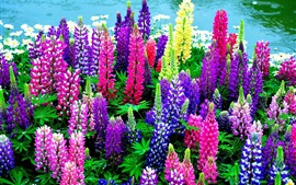 Preview wallpaper Lupines flowers, colorful colors