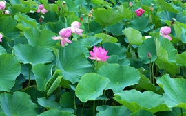Many lotus, pink flowers, leaves