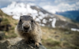 Preview wallpaper Marmot face close-up