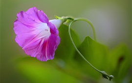Preview wallpaper Morning glory, purple flower