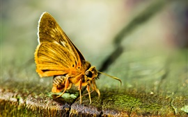 Preview wallpaper Moth, yellow butterfly macro photography