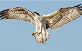 Preview wallpaper Osprey flight, wings, sky