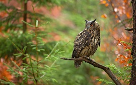 Owl, tree, branch, bokeh
