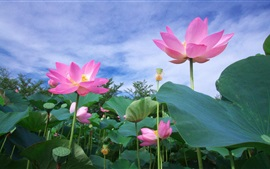 Preview wallpaper Pink lotus, flowers, foliage
