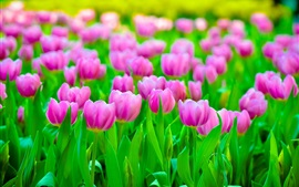 Preview wallpaper Pink tulips field, green leaves