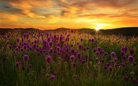 Purple flowers field, grass, sunset