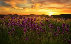 Campo de flores púrpuras, hierba, puesta de sol