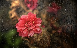 Preview wallpaper Red flower, rain