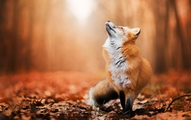 Preview wallpaper Red fox look up, forest, autumn