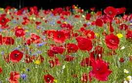 Preview wallpaper Red poppies flowers, bokeh