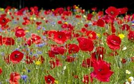 Красные цветы мака, боке