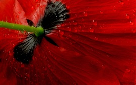 Preview wallpaper Red poppy flower back view, dew