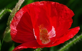 Preview wallpaper Red poppy flower close-up