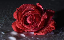 Red rose, water drops, flower close-up
