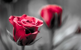 Preview wallpaper Red roses, blurry background