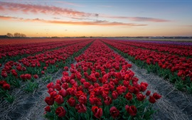 Preview wallpaper Red tulips, flowers field, dusk
