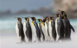 Royal penguins, fog