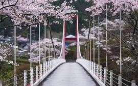 Sakura floresce, flores, primavera, ponte, árvores, Japão