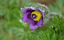 Сон Трава, фиолетовый цветок, роса