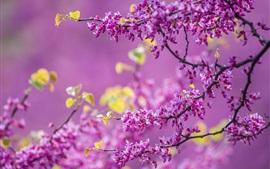 Primavera, flores de árbol, florecimiento, púrpura, ramitas