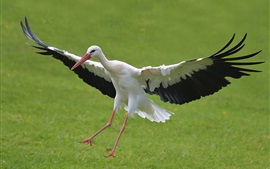 Preview wallpaper Stork flying, wings, grass