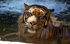 Sumatran tiger bathing in pond