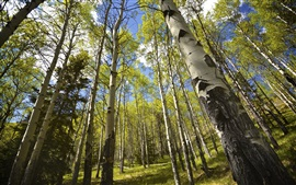 Preview wallpaper Summer, birch forest