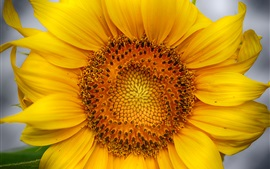 Preview wallpaper Sunflower macro photography, yellow petals, pistil