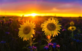 Sunflowers at sunset, glare