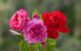 Three colors roses, light pink, pink and red