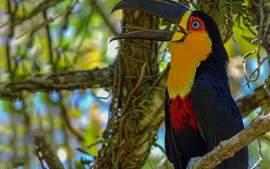 Preview wallpaper Toucan, bird close-up, beak, tree