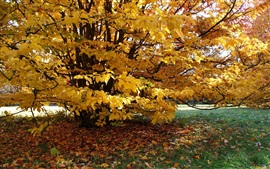 Árbol, hojas amarillas, otoño