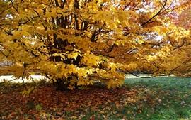Arbre, feuilles jaunes, automne